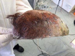 Crâne découpé pour pratiquer le rituel d'embaumement (cl. Micaël Allainguillaume, Craham).